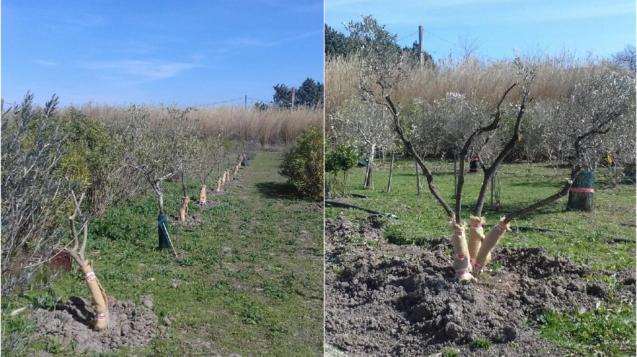 Actu arbres transplantés